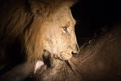 Lew przy nocą Zdjęcia Royalty Free