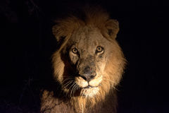Lew przy nocą Obraz Royalty Free