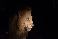 Lew przy nocą Obrazy Royalty Free