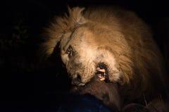 Lew przy nocą Fotografia Stock
