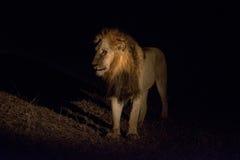 Lew przy nocą Obrazy Stock