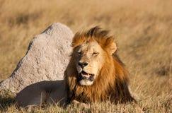 Lew przy odpoczynkiem Moremi, Botswana, - Zdjęcia Royalty Free