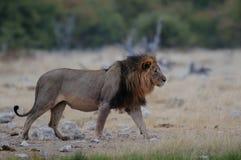 Lew przy porą suchą Zdjęcie Stock