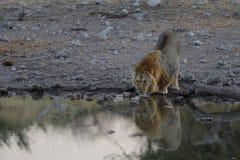 Lew przy waterhole Obrazy Royalty Free