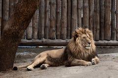 Lew przy zoo Zdjęcie Stock