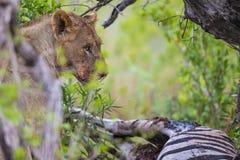 Lew przy zwłoka w Południowa Afryka Zdjęcie Royalty Free