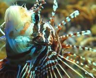 lew ryb Fotografia Royalty Free