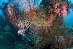 Lew ryba Zdjęcia Stock