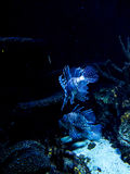 Lew ryba inne Fascynujące Morskie istoty w akwarium w Berlińskim Niemcy Obraz Stock