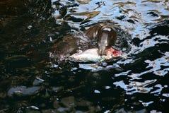 lew rybołówstwa morza Zdjęcie Royalty Free