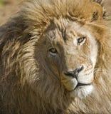 lew samiec Zdjęcia Royalty Free