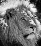 lew samiec Zdjęcie Stock