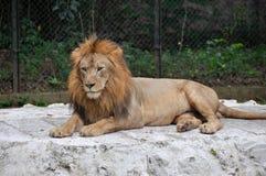 lew samiec Zdjęcie Royalty Free