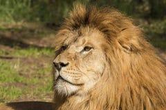 Lew, samiec leo panthera fotografia royalty free