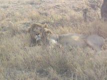Lew samiec w Tanzania Zdjęcia Stock