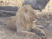 Lew samiec w Tanzania Zdjęcie Stock