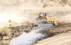 Lew skacze rzekę Obraz Royalty Free