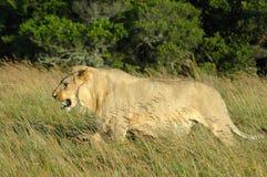 lew trawy. Obrazy Royalty Free