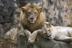 Lew twarz odpoczywa na górze skały (frontowy spojrzenia zakończenie up) zdjęcie stock