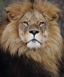 Lew twarzy zakończenie up Zdjęcie Royalty Free