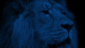 Lew twarzy zbliżenie Przy nocą zdjęcie wideo