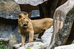 Lew w Chiangmai zoo, Tajlandia Zdjęcie Stock