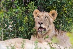 Lew w dzikim Południowa Afryka Zdjęcia Stock