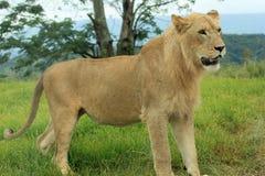 Lew w Gemowej rezerwie w Południowa Afryka Obrazy Royalty Free