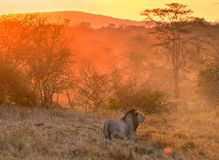 Lew w Kenja parku narodowym, Taita Hils, Afryka Zdjęcie Royalty Free