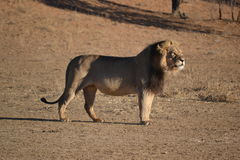 Lew w Kgaligadi parku narodowym Zdjęcia Royalty Free