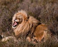Lew w Kruger Zdjęcie Stock