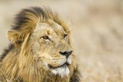 Lew w Kruger parku narodowym Obraz Stock