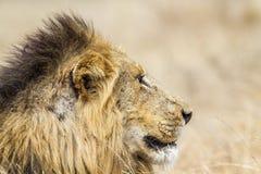 Lew w Kruger parku narodowym Zdjęcia Royalty Free