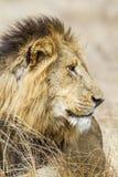 Lew w Kruger parku narodowym Zdjęcie Royalty Free