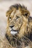 Lew w Kruger parku narodowym Obraz Royalty Free
