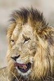 Lew w Kruger parku narodowym Fotografia Royalty Free