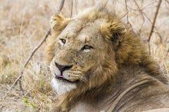 Lew w Kruger parku narodowym Zdjęcia Stock
