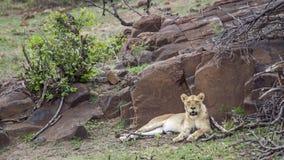 Lew w Kruger parku narodowym, Południowa Afryka Zdjęcia Stock