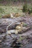 Lew w Kruger parku narodowym, Południowa Afryka Zdjęcie Stock