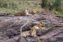 Lew w Kruger parku narodowym, Południowa Afryka Obrazy Stock