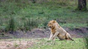 Lew w Kruger parku narodowym, Południowa Afryka Zdjęcia Royalty Free
