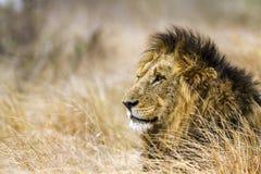Lew w Kruger parku narodowym, Południowa Afryka Zdjęcie Royalty Free