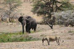 Lew w krwi po tropić Kenja i elefant dzika niebezpieczna ssaka Africa sawanny Obrazy Royalty Free