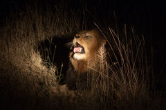 Lew w krzaku przy noc Fotografia Royalty Free