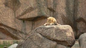 Lew w Lincoln parku obraz stock