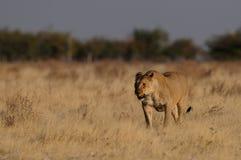 Lew w obszarze trawiastym Obrazy Stock