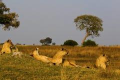Lew w parku Obraz Stock