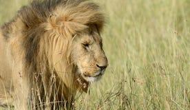 Lew w parku narodowym Kenja zdjęcie stock
