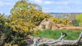 Lew w pięknym Zachodniego Midland safari parku Obraz Royalty Free