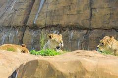 Lew w pięknym Zachodniego Midland safari parku Fotografia Royalty Free